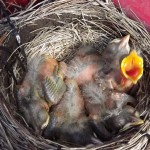 New born Robins